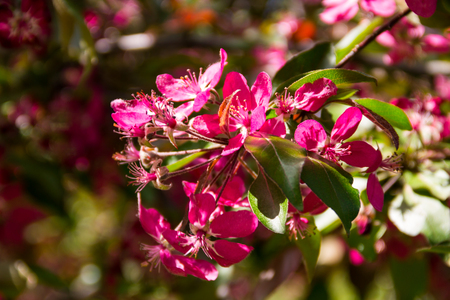 Pink crab-apple blossoms on tree branch on spring