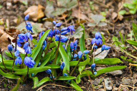 Blue scilla flowers (Scilla siberica) or siberian squill. First spring flowers