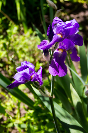 Purple iris flowers on flowerbed