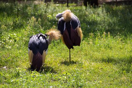 Two grey crowned crane (Balearica Regulorum) on green grass Stock Photo