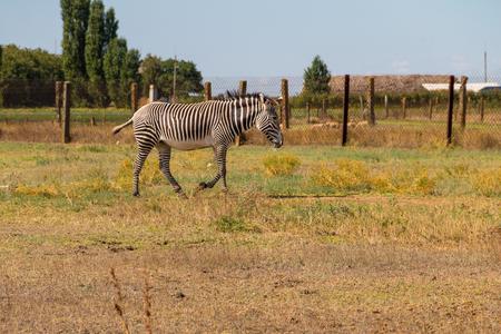 Plains zebra (Equus quagga, formerly Equus burchellii), also known as the common zebra or Burchells zebra Stock Photo