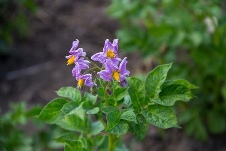 Potato blossom in the garden