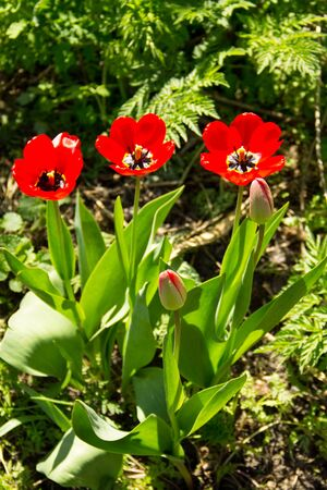 Red tulips on flowerbed in garden Stock Photo