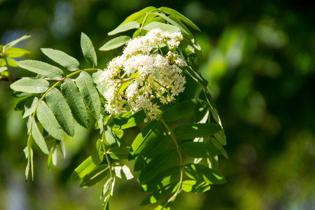 Rowan tree in bloom. Branch of white rowan tree flowers Stock Photo