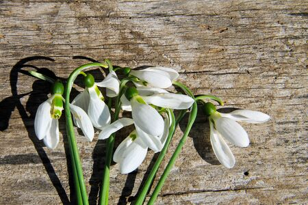 Bouquet of white snowdrops on rustic wooden background