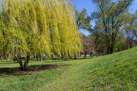 Weeping willow tree or Babylon willow (Salix Babylonica) in a park