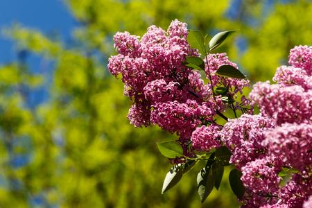 Purple lilac flowers on a bush Reklamní fotografie