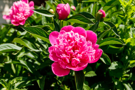 Pink peony in the garden Stock Photo