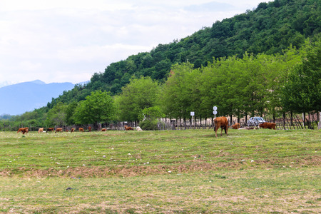 Herd of cows grazing on the green pasture in Caucasian mountains