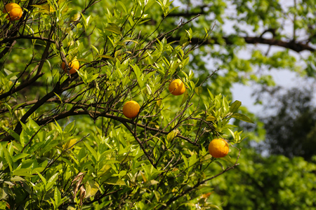 Beautiful citrus tree with ripe fruits close-up Stock Photo