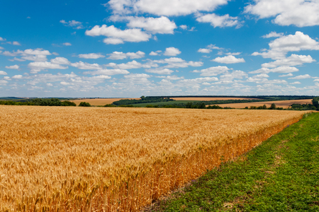Field of ripe golden wheat 写真素材