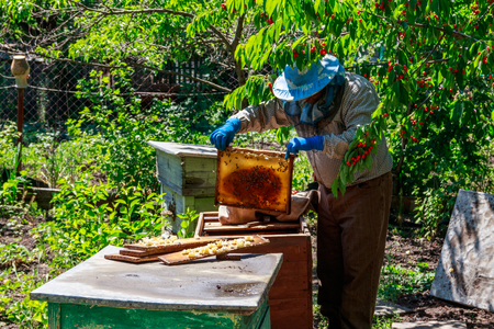 Beekeeper checking a beehive to ensure health of the bee colony or collecting honey. Beekeeper on apiary
