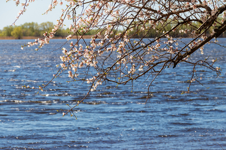 Blossoming tree of apricot on riverbank