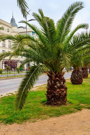 Palmiers dattiers pygmées (Phoenix roebelenii) dans le parc de la ville de Batumi, Géorgie