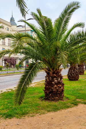 Pygmy date palm trees (Phoenix roebelenii) in city park in Batumi, Georgia