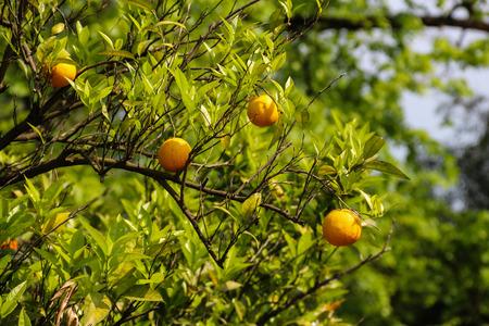 Beautiful citrus tree with ripe fruits close-up Stock fotó
