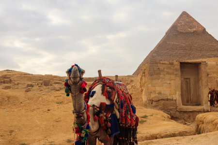 Camel on the Giza pyramid background