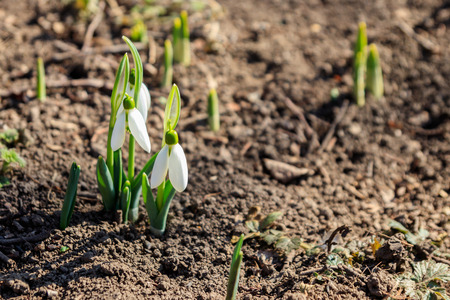 White snowdrop flowers (Galanthus nivalis) on early spring 写真素材 - 121526412