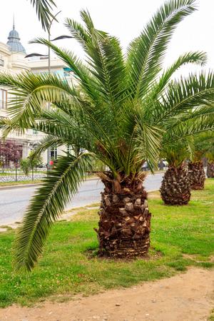 Pygmy date palm trees (Phoenix roebelenii) in city park in Batumi, Georgia