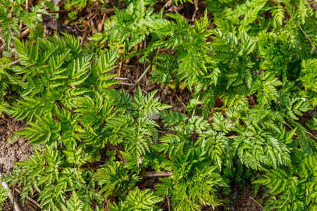 Green hemlock spotted plants (Conium Maculatum)
