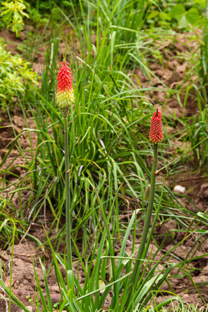 Kniphofia uvaria also known as tritomea, torch lily, or red hot poker flower in garden