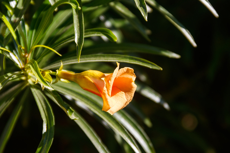 Apricot colored flower of Cascabela thevetia (Yellow oleander, Lucky nut)