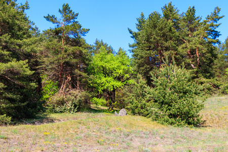 View of a pine forest on sunny day Stockfoto - 123209306