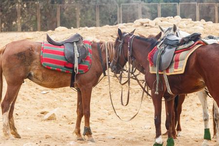 Saddled horses in Arabian desert, Egypt Stok Fotoğraf