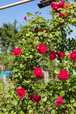 Beautiful bush of red rose in a garden