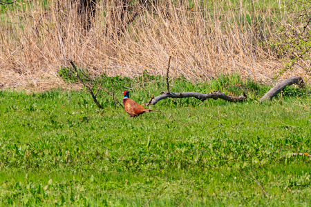 Pheasant in green grass on a meadow 스톡 콘텐츠