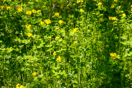 Flowers of yellow celandine in forest. Chelidonium majus, (commonly known as greater celandine, nipplewort, swallowwort, or tetterwort)