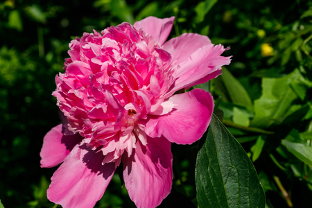 Pink peony in the garden 免版税图像