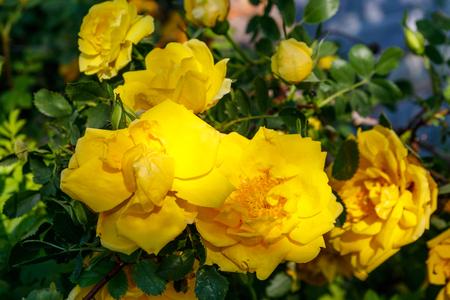 Beautiful bush of yellow roses in the garden