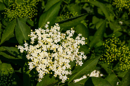 White elder blossom (Sambucus nigra)