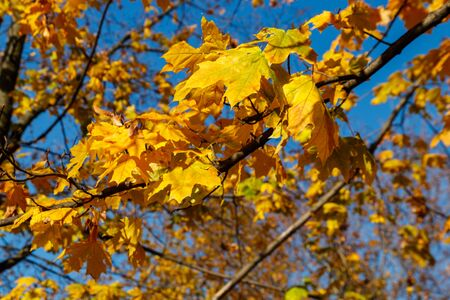 Yellow autumn leaves of maple tree close-up