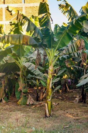 Banana trees growing on the banana plantation Reklamní fotografie