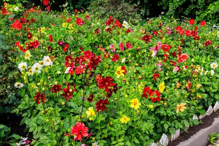 Colorful dahlia flowers on a flower bed