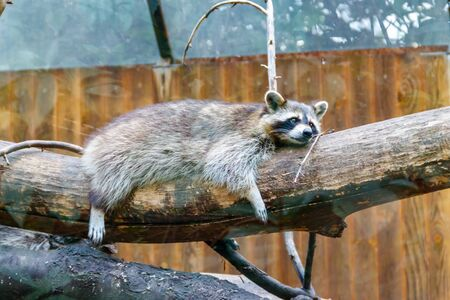 Raccoon (Procyon lotor), also known as the common raccoon, North American raccoon, northern raccoon, or coon, is a medium-sized mammal native to North America Archivio Fotografico