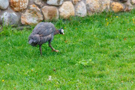 Guinea fowl on green grass at farmyard 스톡 콘텐츠