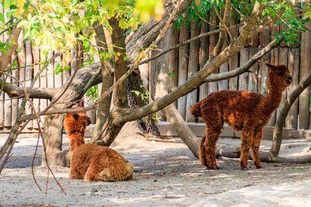 Alpacas marrones (Vicugna pacos) en corral Foto de archivo