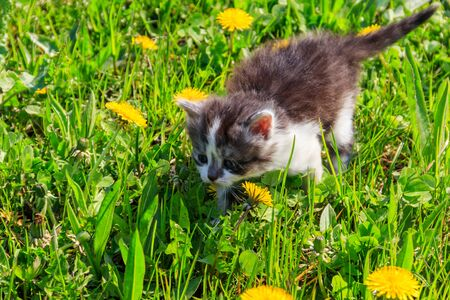 Small kitten in yellow dandelion flowers. Young cat on green meadow Stockfoto