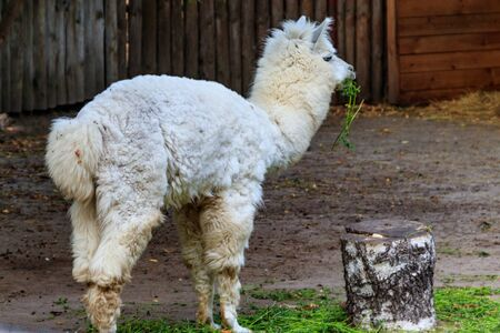 White alpaca (Vicugna pacos) on farmyard