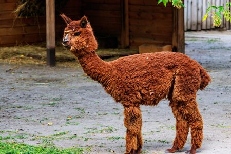 Brown alpaca (Vicugna pacos) on farmyard