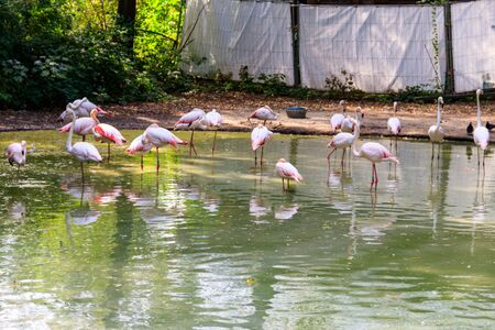 Greater flamingo (Phoenicopterus roseus) is the most widespread species of the flamingo family Фото со стока