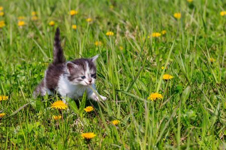 Small kitten in yellow dandelion flowers. Young cat on green meadow