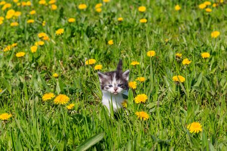 Small kitten in yellow dandelion flowers. Young cat on green meadow Stock Photo