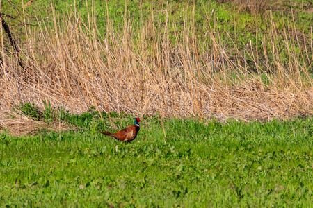 Pheasant in green grass on a meadow Stock Photo