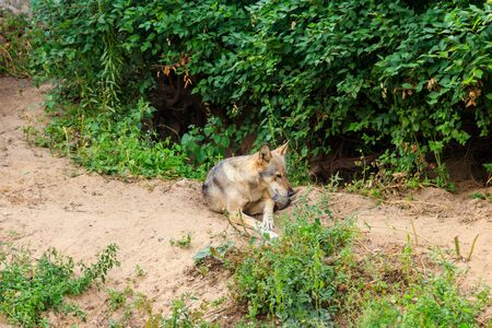 Grey wolf (Canis lupus) in forest 版權商用圖片