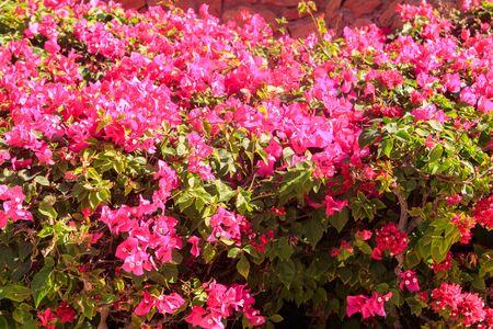 Beautiful blooming bougainvillea in garden
