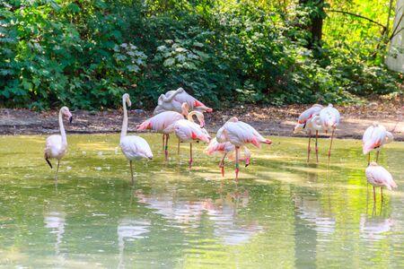Greater flamingo (Phoenicopterus roseus) is the most widespread species of the flamingo family Banco de Imagens